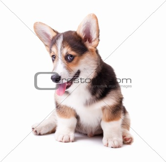 dog breed Welsh Corgi, Pembroke
