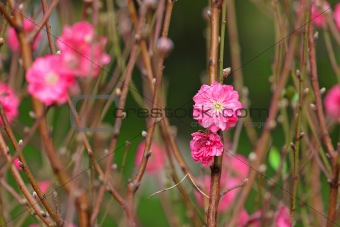 peach blossom , decoration flower for chinese new year