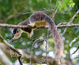 Big giant squirrel