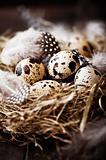 Quail&#39;s Eggs and Feathers in a Easter Nest