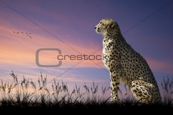 African safari concept image of cheetah looking out over savannn