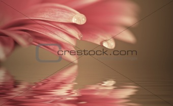 Beautiful muted color gerbera daisy flower reflected in water