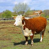 Farm cow stands on field