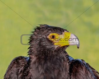 Black Eagle Head Profile