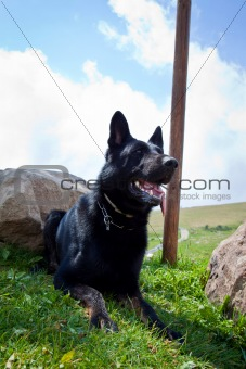 Black German Shepherd