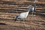 two herns heron