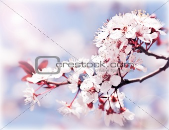 Blooming tree at spring