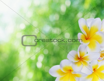 Beautiful  natural bokeh and frangipani