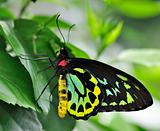 The Richmond Birdwing