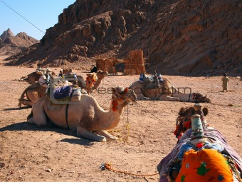 Camels seating against a mounting background