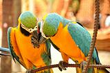 close up of two beautiful macaws