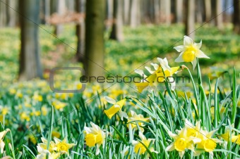 Forest covered with a daffodils carpet. Shallow DOF