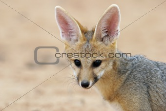 Cape fox portrait