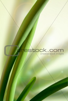 Green leaves Sansevieria trifasciata