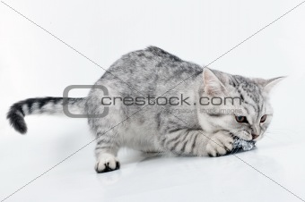 young grey white Scottish kitten playing