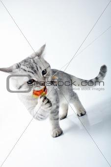 grey white Scottish kitten playing