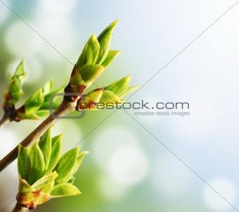 Green Bud