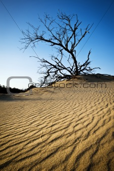 OBX Rippled Sand Dunes Tree Jockeys Ridge Outer Banks NC