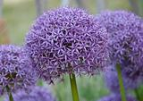 Allium hollandicum purple sensation flower