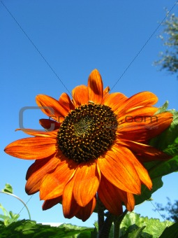 sunflower on the blue sky background
