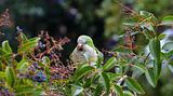 green parrot eating berries on the tree