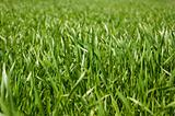 growing green grass at springtime