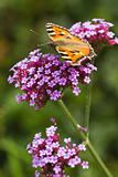 Small tortoiseshell or Aglais urticae on Verbena
