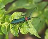 The Brilliant blue bug on green background