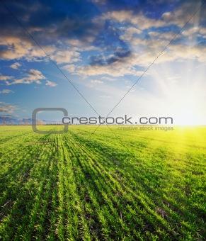 green barley in sunset
