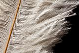 detail of white ostrich feather