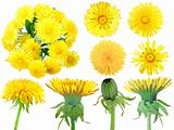 Set of yellow dandelion-flowers