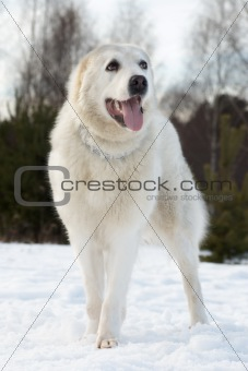 Central asian shepherd dog breed is on the snow