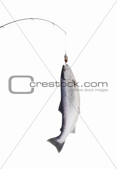 salmon on fishing-rod