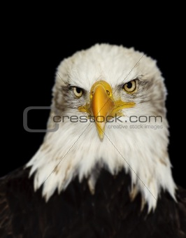 Full frontal portrait of Amerrican symbol bald eagle isolated on