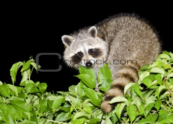 Night Raccoon