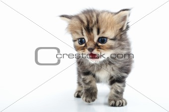 cute small kitten walking towards