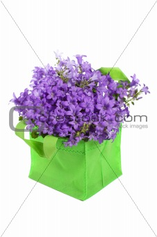campanula blue , it is isolated on white