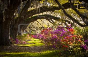 Charleston SC Plantation Oak Trees Spanish Moss Azalea Spring Flowers
