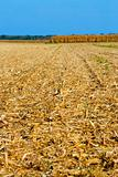Corn field in harvest