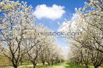blooming orchard in spring