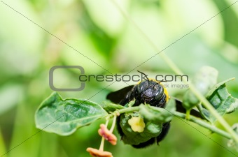 Carpenter bee macro in the nature