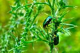 Two rose chafers (Cetonia aurata) on a green stem plants