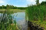 Lake with green reeds sunny summer day