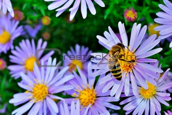 The bee among the purple asters on a green background