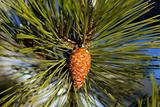 Pine cone. Close-up view.