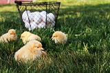 Free Range Chicks