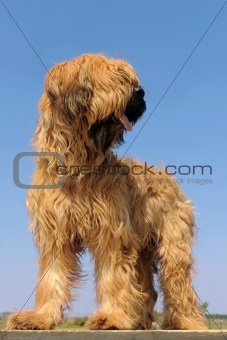 briard, french shepherd