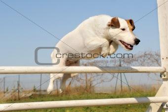 jack russel terrier in agility