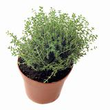 thyme in pot isolated
