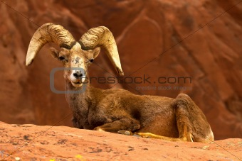 Desert Big Horn Ram Sheep on Red Rocks